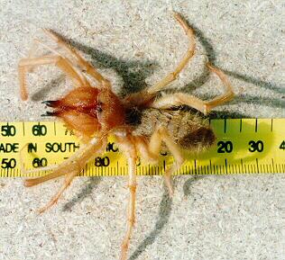 Arachnid Solifugae Red Roman Spider